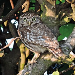 Little Owl Chevington Moor