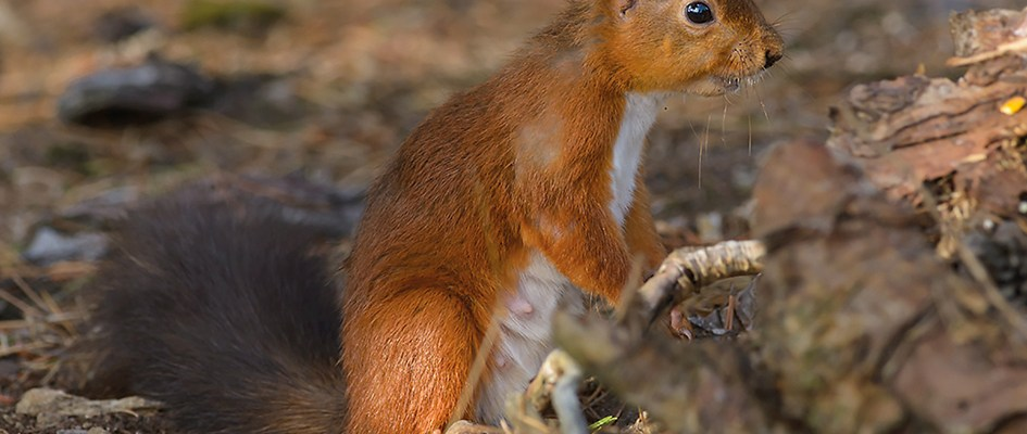 red_squirrel-00503