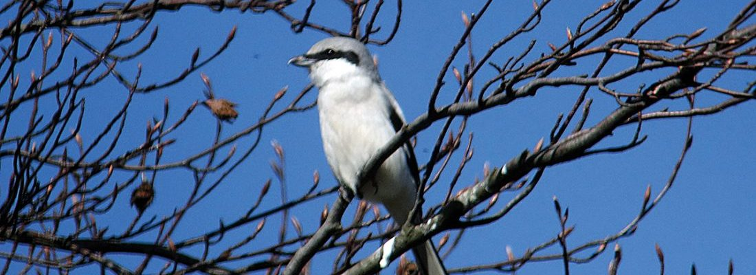 Great Grey Shrike Prestwick Carr(1)
