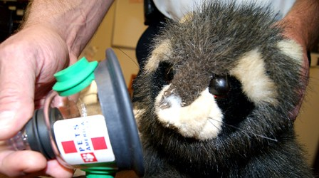 Photos by Karen Zautyk Serendipitous raccoon [see story for explanation] awaits application of KFD's new oxygen mask.
