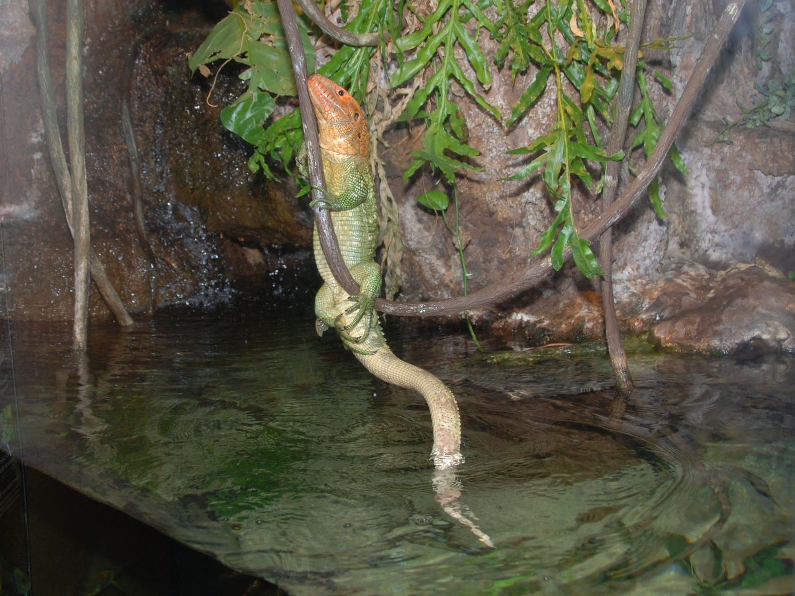 Caiman lizard enclosure - photo#6