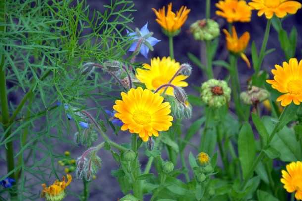 Calendula Flowers Nature Garden Flower Summer - Winter flowering plants to grow in India