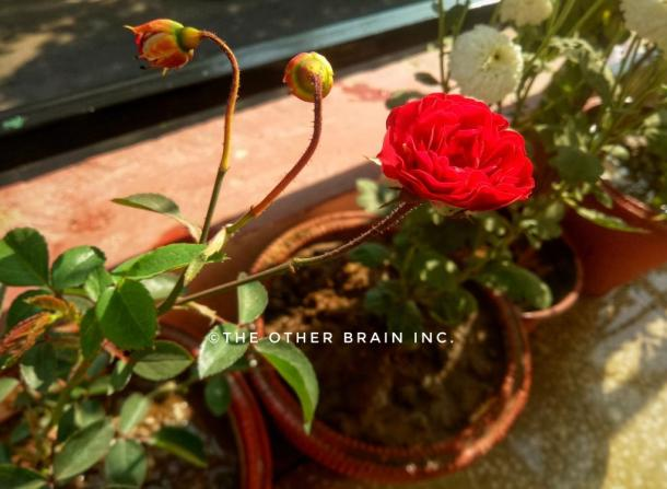 Button Red Rose  Flowers & buds - Winter flowering plants to grow in India