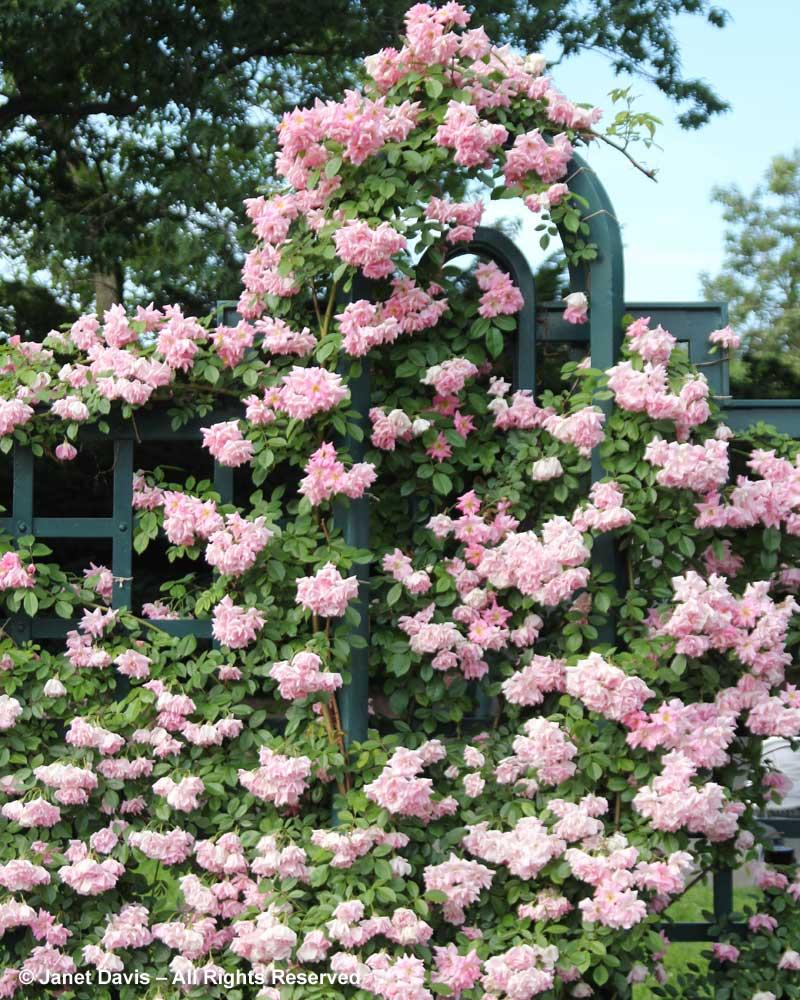 Dark Rosa Rockefeller Rose Garden Peggy Rockefeller Rose Garden Janet Davis Explores Colour Peggy Martin Rose Images Peggy Martin Rose Zone houzz-03 Peggy Martin Rose