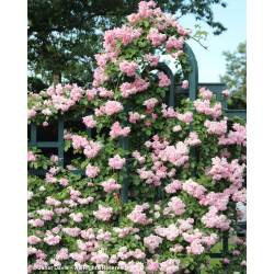 Small Crop Of Peggy Martin Rose