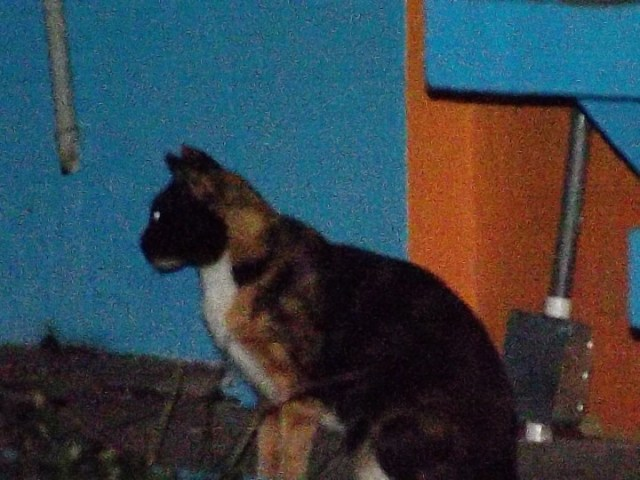 This and the following photo were taken on an early evening walk down a stree in Ancon that begins near the back entrance to STRI and ends at the DIJ. These are two of the many feral cats that aroused the concern of Panama's outpost of the Smithsonian.