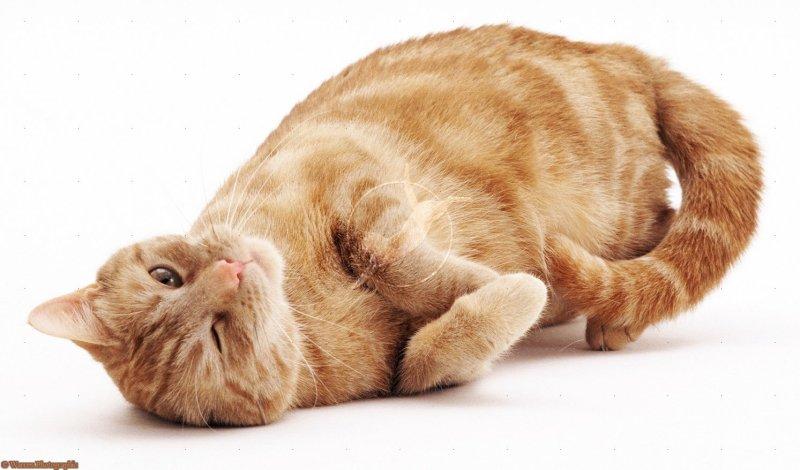 Large Of Vestibular Disease In Cats