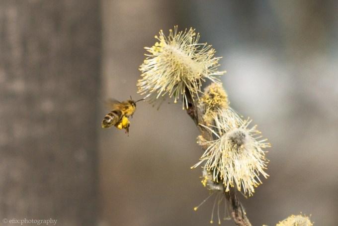 honeybee_crop