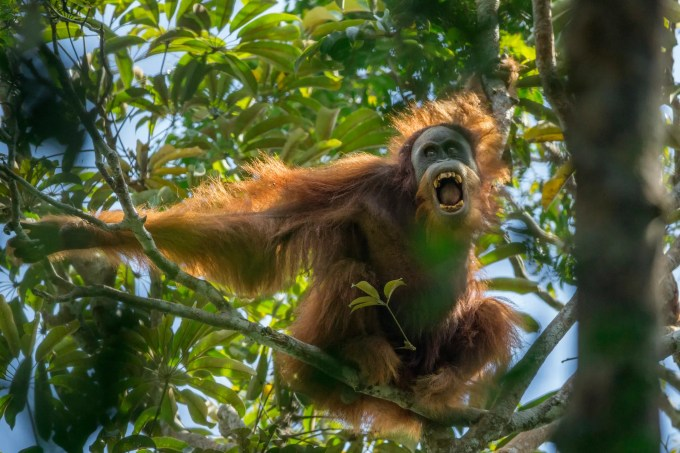 Sumatran Orangutan (Pongo abelii) Batang Toru Population Unidentified unflanged adult male making threatening display towards, Togus, the resident adult flanged male Batang Toru Forest Sumatran Orangutan Conservation Project North Sumatran Province Indonesia