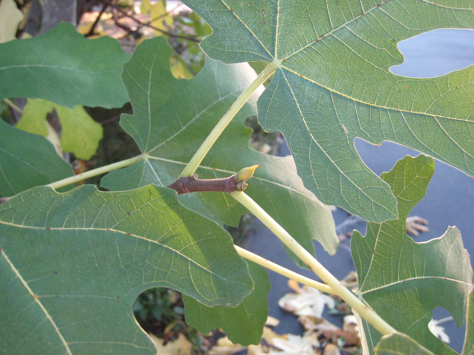 Charming How To Prune A Fig Tree Plant Lady How To Prune A Fig Tree Australia How To Prune A Fig Tree Plant houzz 01 How To Prune A Fig Tree