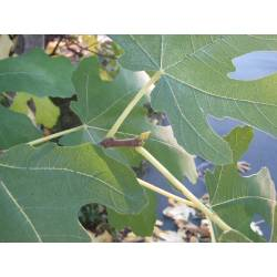 Small Crop Of How To Prune A Fig Tree