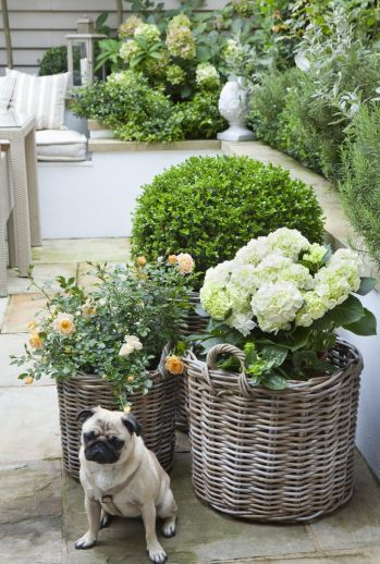 Potted Hydrangeas and Boxwoods via Claire Mee