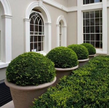 A row of potted boxwoods via Landform Consultants
