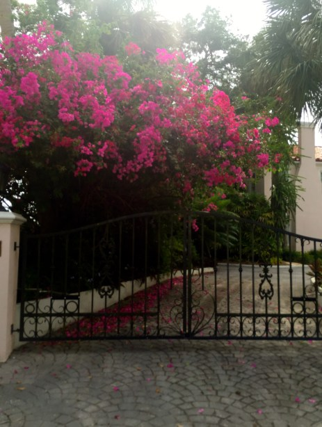 Florida bougainvillea by The Potted Boxwood. 1