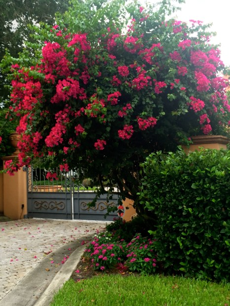 Florida bougainvillea by The Potted Boxwood. 2