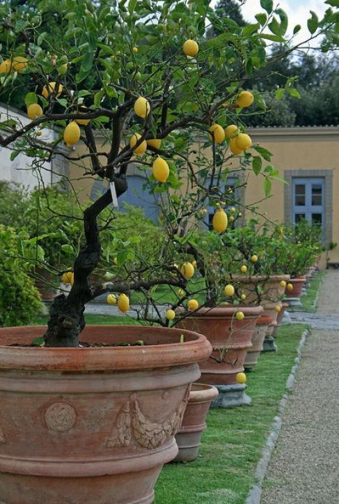 Potted lemon trees in a row