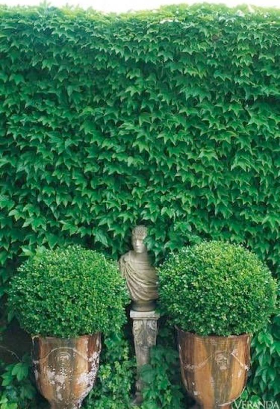 Ivy and boxwood via Veranda