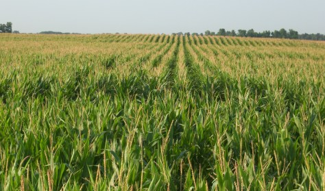 Hey, it's corn. Fascinating stuff.