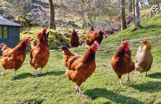 Chickens_New
