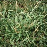 Crab Grass