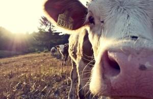 cow-932817_640
