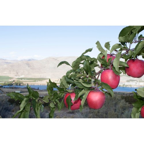 Medium Crop Of Pacific Rose Apple