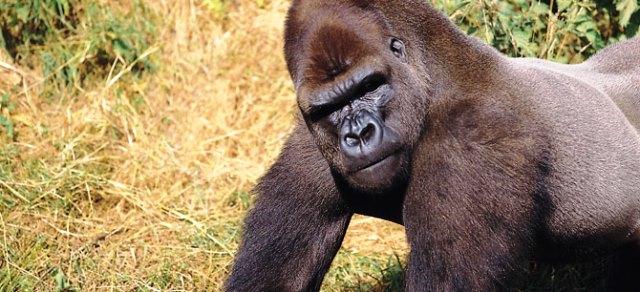 Western Lowland Gorilla - Jersey Zoo Durrell