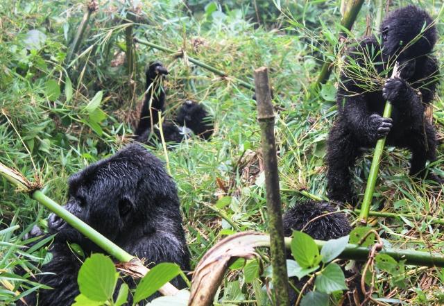 Mountain Gorillas in Rwanda - zoedawes