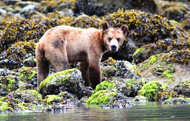 Grizzly bear cub Knight Inlet Canada - photo zoedawes