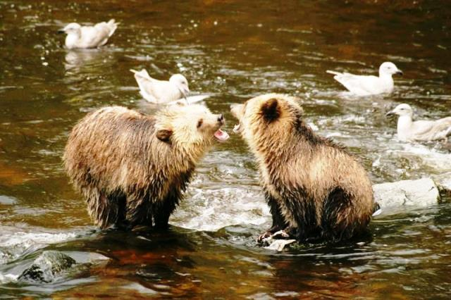 Grizzly bear cubs Knight Inlet Lodge british columbia canada