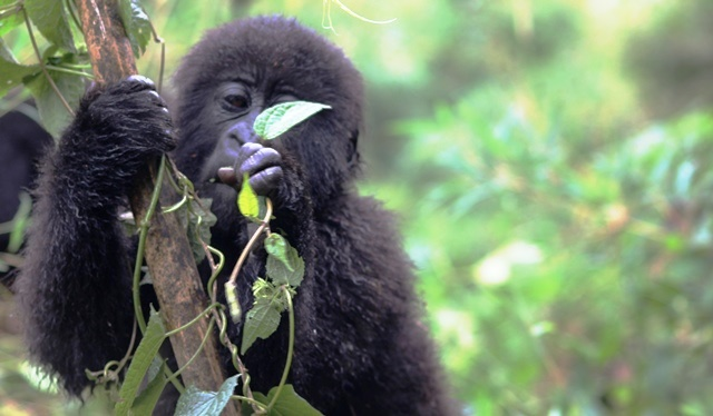Young mountain gorilla feeding rwanda - zoedawes