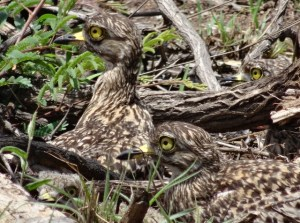 Spotted Thick-knee (3 adults and 1 chick)