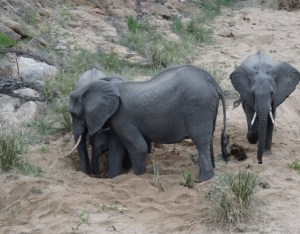 Elephants digging for water in the dry river bed