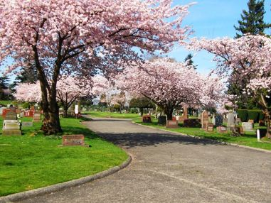 A view of Lakeview cemetery with the cherry trees blossoming