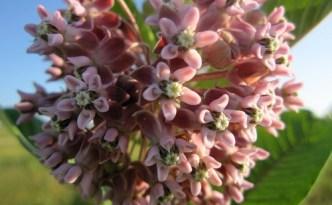 Common Milkweed flower.