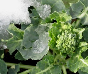 A little snow and ice doesn't slow down broccoli