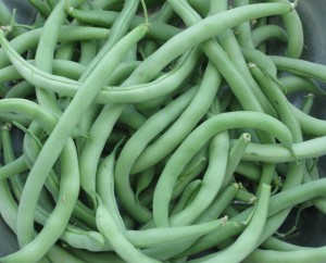Green beans freshly picked
