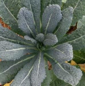 Tuscan kale, or lacinato, our favorite