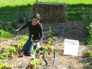 Student tending rows of lettuce