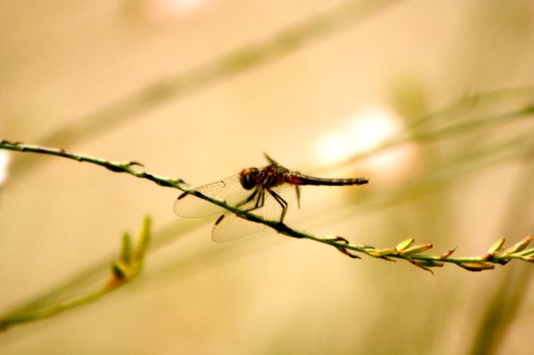 Dragonfly precedes Hurricane Isaac Evacuations