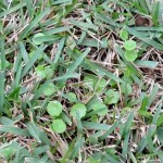 Dollarweed Florida Grass