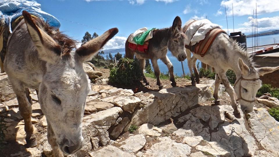 Mules on Isla del Sol, Lake Titicaca, Bolivia