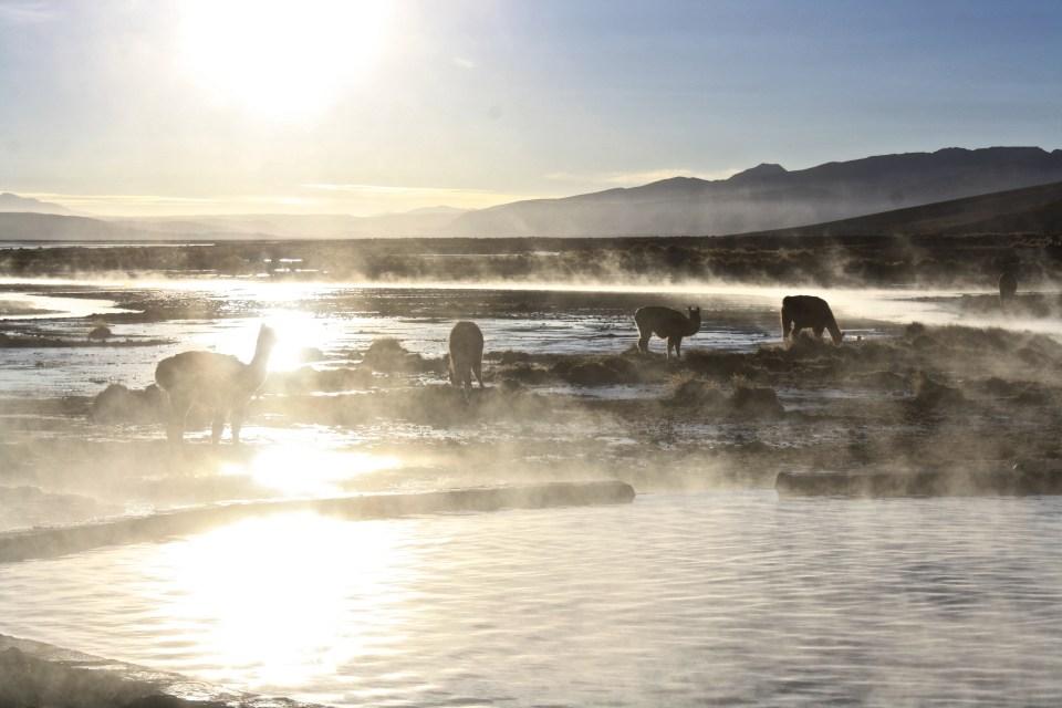 LLamas in the Atacama Desert, Bolivia