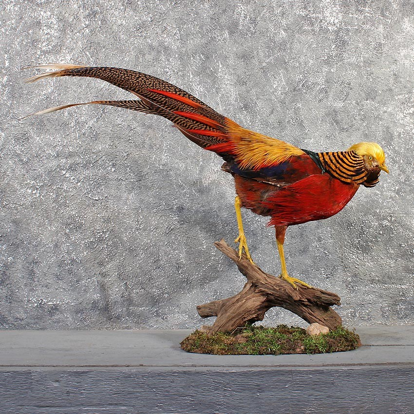 Golden Pheasant Bird Mount  11487   The Taxidermy Store Golden Pheasant Bird Mount  11487   For Sale   The Taxidermy Store