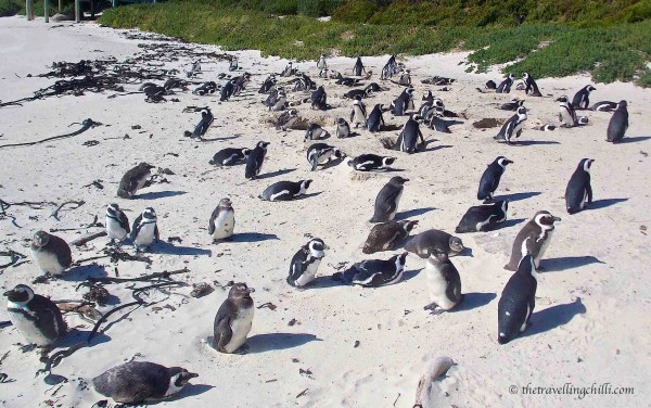 African penguin South Africa Boulders