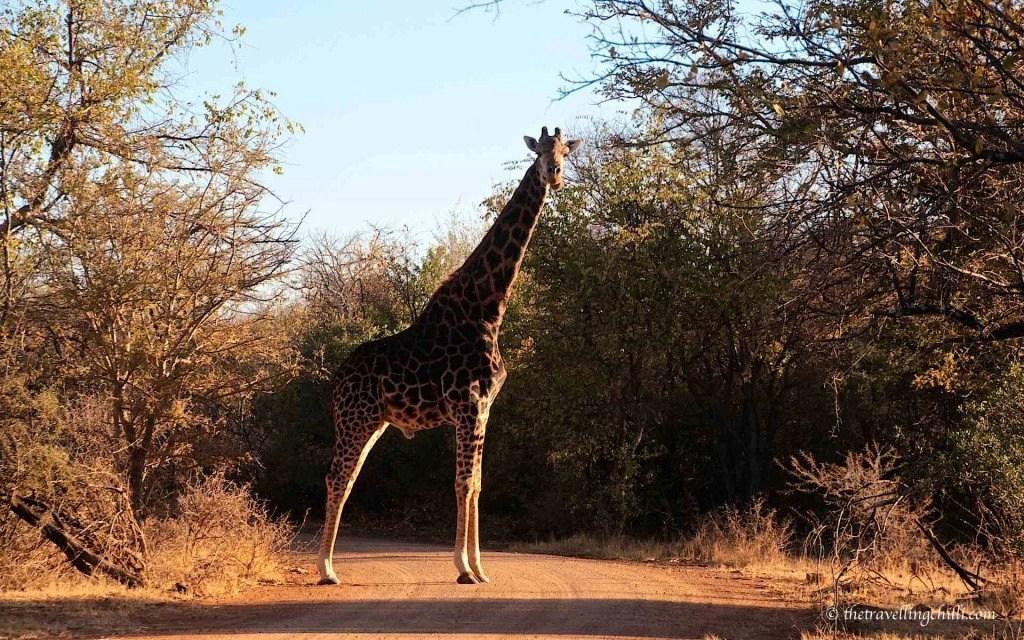 Marakele giraffe sanparks south africa national park
