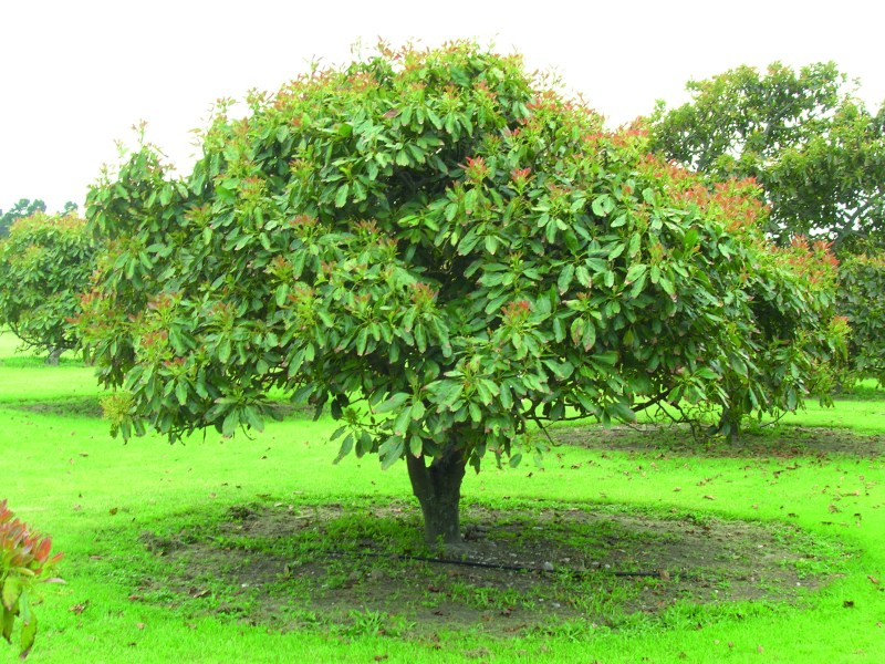 Large Of Dwarf Avocado Tree