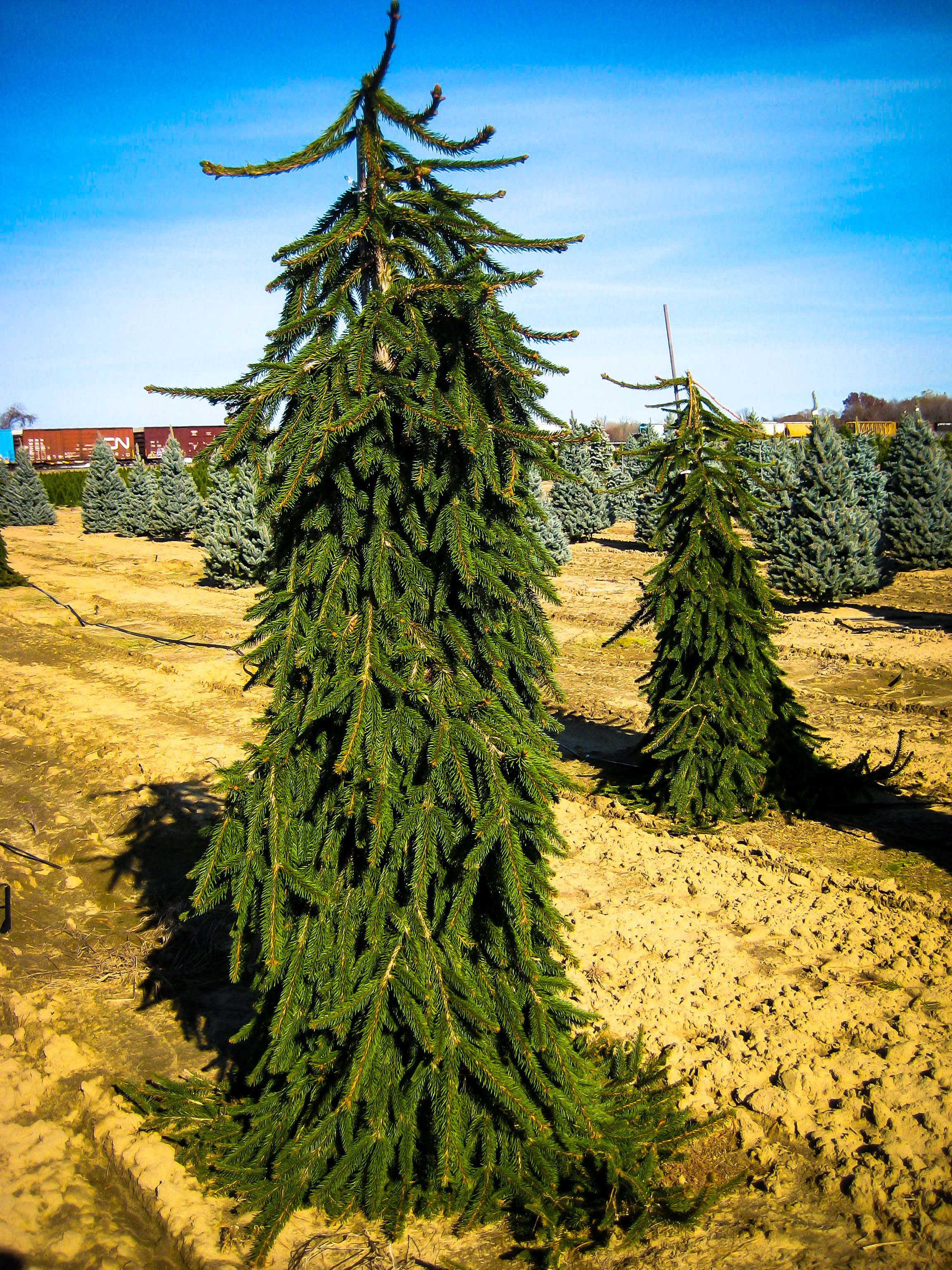 Divine Sale Online Tree Center Baby Blue S Spruce Cost Baby Blue S Spruce Nj Plant Weeping Norway Spruce houzz-02 Baby Blue Eyes Spruce