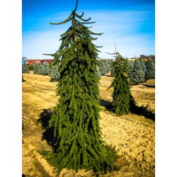 Small Crop Of Baby Blue Eyes Spruce