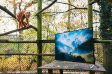 EMBARGOED until 00:01 07/12/15 GMT Conservation charity, The Aspinall Foundation, installed a Sony BRAVIA 4K TV in its langur enclosure at Port Lympne Reserve in Kent, UK, as part of its world famous 'Back to the Wild' project, to give the animals a life-like and detailed look at the areas in the wild that could become their new homes. The charity will trial TV watching on Sony's 4K TVs as part of this programme in a bid to make langurs more familiar with the new environment. This picture: Langurs are shown imagery of their future home in Java on a Sony BRAVIA 4K TV For more information or a full release please call the Sony press office on 020 7566 9747 or email: Rochelle Collison@hopeandglorypr.com // Phoebe.Mellor@hopeandglorypr.com PR Handout - editorial usage only Copyright: © Mikael Buck / Sony +44 (0) 782 820 1042 http://www.mikaelbuck.com